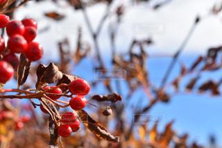 空,秋,木,屋外,木の実,鮮やか