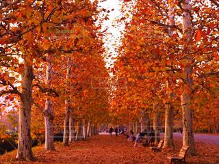 プラタナス並木の写真・画像素材[1643012]