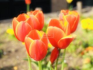 オレンジチューリップの写真・画像素材[2058165]