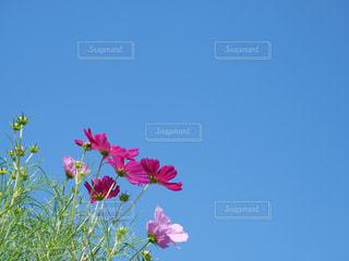 自然,風景,花,コスモス,草,草木