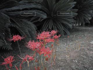 花,秋,景色,彼岸花,岡山