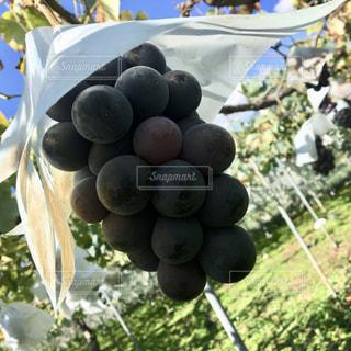秋,フルーツ,果物,食,ぶどう狩り,ぶどう,巨峰,食欲の秋,秋の果物,秋のフルーツ