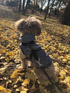 犬,秋,イチョウの絨毯