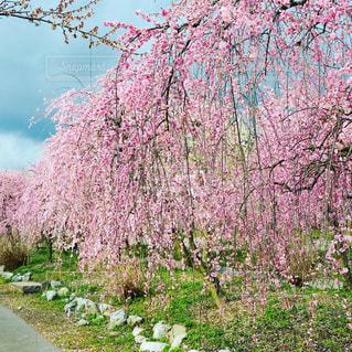 花,春,屋外,梅,樹木,梅まつり,ブロッサム,梅林公園