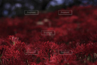 花,秋,赤,景色,彼岸花