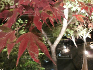 風景,紅葉,屋外,京都,緑,赤,もみじ,樹木,北野天満宮,明るい,草木,カエデ,多色