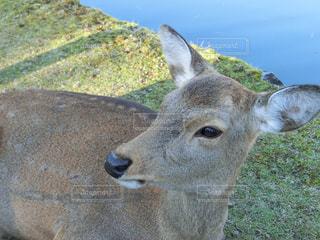鹿の写真・画像素材[1638388]