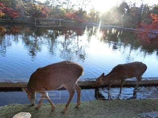 鹿の写真・画像素材[1638484]