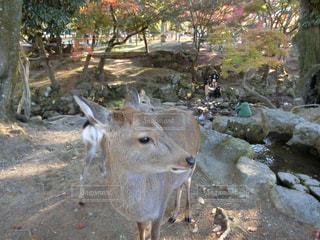 鹿と紅葉の写真・画像素材[1638717]