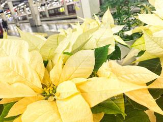 花,冬,白,クリスマス,ポインセチア,ホワイト,草木,フォトジェニック,冬の花,色・表現,白いポインセチア