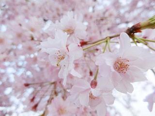 春,桜,ピンク,サクラ,お花見,Spring,さくら