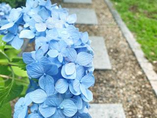 花,雨,あじさい,青,紫陽花,露,梅雨,6月