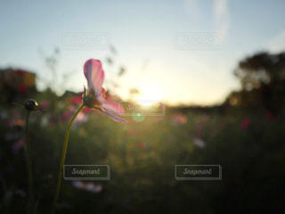 自然,空,花,太陽,コスモス,夕方,光,草木,長居植物園