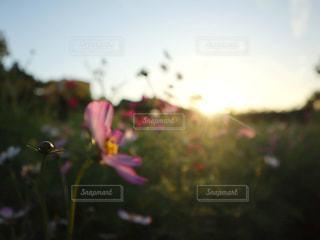 自然,空,花,太陽,コスモス,花びら,光,夕陽,サンセット,草木