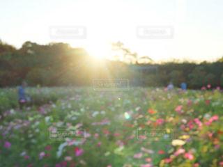 自然,空,花,屋外,太陽,コスモス,景色,光,草,新緑,草木,ガーデン