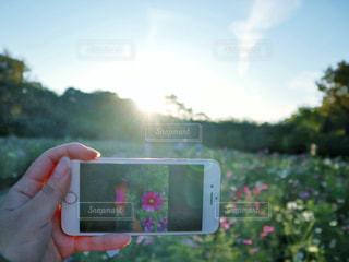 空,花,屋外,太陽,コスモス,手,スマホ,光,樹木,人,スマートフォン,草木,スマホ撮影,ケータイ,フォトインフォト