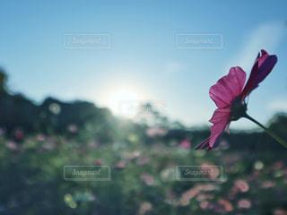 自然,空,花,屋外,太陽,コスモス,光
