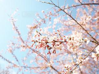 空,花,春,屋外,青空,枝,水色,光,サクラ,樹木,ふんわり,草木,桜の花,さくら,ブロッサム