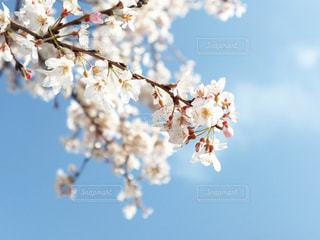 空,花,春,桜,屋外,青,枝,青い空,サクラ,樹木,たくさん,空気,草木,桜の花,さくら,ブロッサム