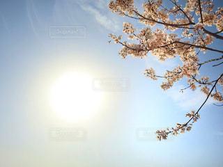 自然,空,花,春,桜,屋外,太陽,青空,サクラ,樹木,快晴,草木,さくら