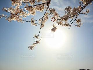空,花,春,桜,屋外,太陽,青空,光,サクラ,樹木,草木,桜の花,さくら,ブロッサム