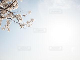 空,花,春,桜,屋外,太陽,青空,光,サクラ,樹木,ふんわり,さくら,やわらかい,フリースペース,やわからな
