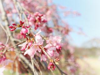 花,春,桜,ピンク,晴れ,しだれ桜,鮮やか,サクラ,枝垂れ桜,草木,桜の花,さくら,ブロッサム