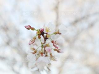花,春,桜,白,花見,光,サクラ,つぼみ,ふんわり,ホワイト,草木,さくら,ブロッサム,柔らかな,やわらかい,やわらかな