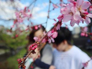 女性,男性,子ども,家族,3人,花,春,桜,ファミリー,サクラ,ぼかし,人,河津桜,草木,さくら,淀水路