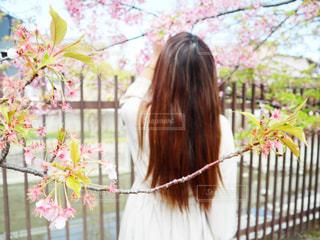 女性,1人,モデル,花,春,桜,ロングヘア,後ろ姿,女,サクラ,ロングヘアー,河津桜,さくら,淀水路