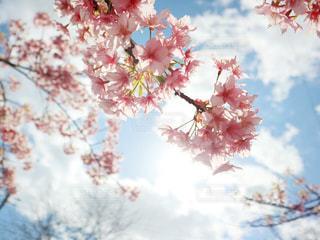 空,花,春,桜,屋外,太陽,サクラ,草木,桜の花,さくら,ブルーム