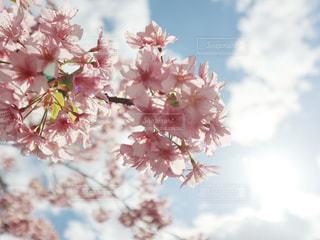空,花,春,桜,屋外,太陽,晴れ,サクラ,樹木,快晴,草木,桜の花,さくら