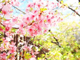 花,春,桜,屋外,ピンク,サクラ,満開,葉桜,さくら,淀水路