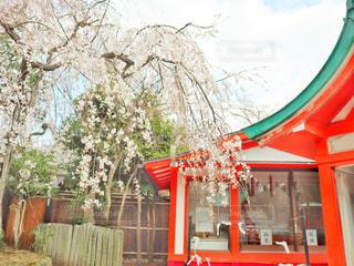 花,春,桜,屋外,京都,神社,しだれ桜,サクラ,満開,枝垂れ桜,さくら,車折神社,芸能神社