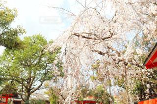 空,花,春,桜,屋外,京都,ピンク,晴れ,晴天,しだれ桜,サクラ,樹木,枝垂れ桜,枝垂れ,さくら,車折神社
