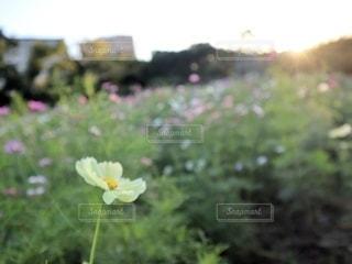 草の中の黄色い花の写真・画像素材[3342459]