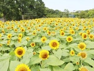 ひまわり@長居植物園の写真・画像素材[3356651]