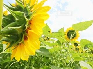 緑の葉の黄色い花の写真・画像素材[3356649]