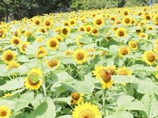 ひまわり@長居植物園の写真・画像素材[3356655]