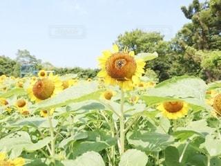 ひまわり@長居植物園の写真・画像素材[3356654]