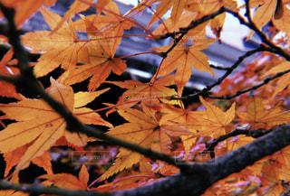 紅葉の写真・画像素材[1642097]