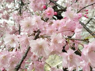 ピンクのお花の写真・画像素材[1791674]