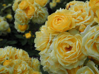 花,黄色,バラ,鮮やか,薔薇,バラ園,幸せ,ローズ,イエロー,豪華,ハッピー,色,黄,靱公園,可憐,yellow