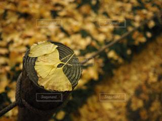 自然,秋,紅葉,森林,屋外,東京,黄色,樹木,並木,イチョウ,銀杏,いちょう並木,黄,草木,11月,神宮前,いちょう,モミジ