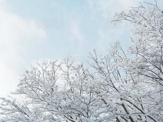 空,冬,木,雪,白,枝,ホワイト,福島,雪国,ホワイトカラー