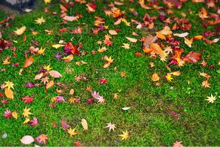 芝と色彩豊かな落ち葉の写真・画像素材[1549443]