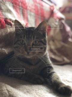こたつから出ない猫の写真・画像素材[1744409]