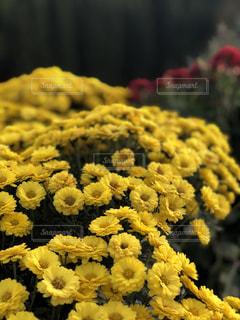 花,秋,かわいい,黄色,景色,草木,菊