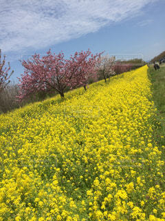 花,春,桜,かわいい,カラフル,黄色,菜の花,景色,草木