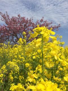 空,花,春,桜,かわいい,カラフル,黄色,菜の花,景色
